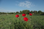 Coqulicot (Papaver rhoeas)